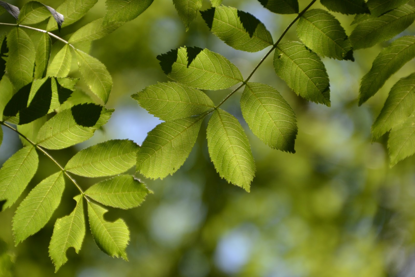 Ash tree leaves | Landscape Improvements