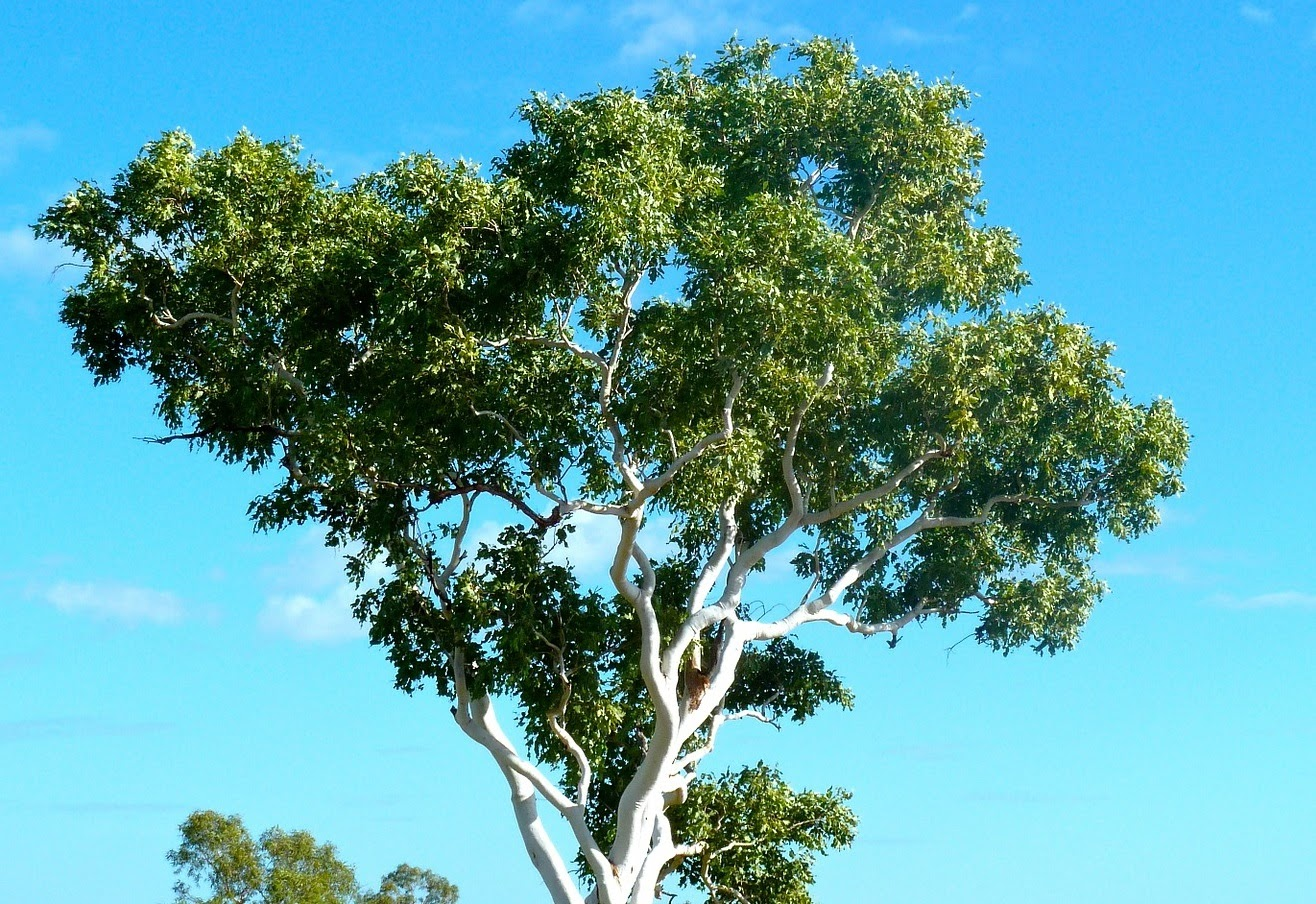 Eucalyptus Tree | Landscape Improvements