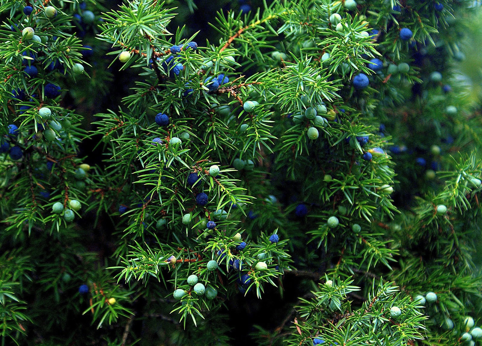 Juniper tree leaves | Landscape Improvemenrs