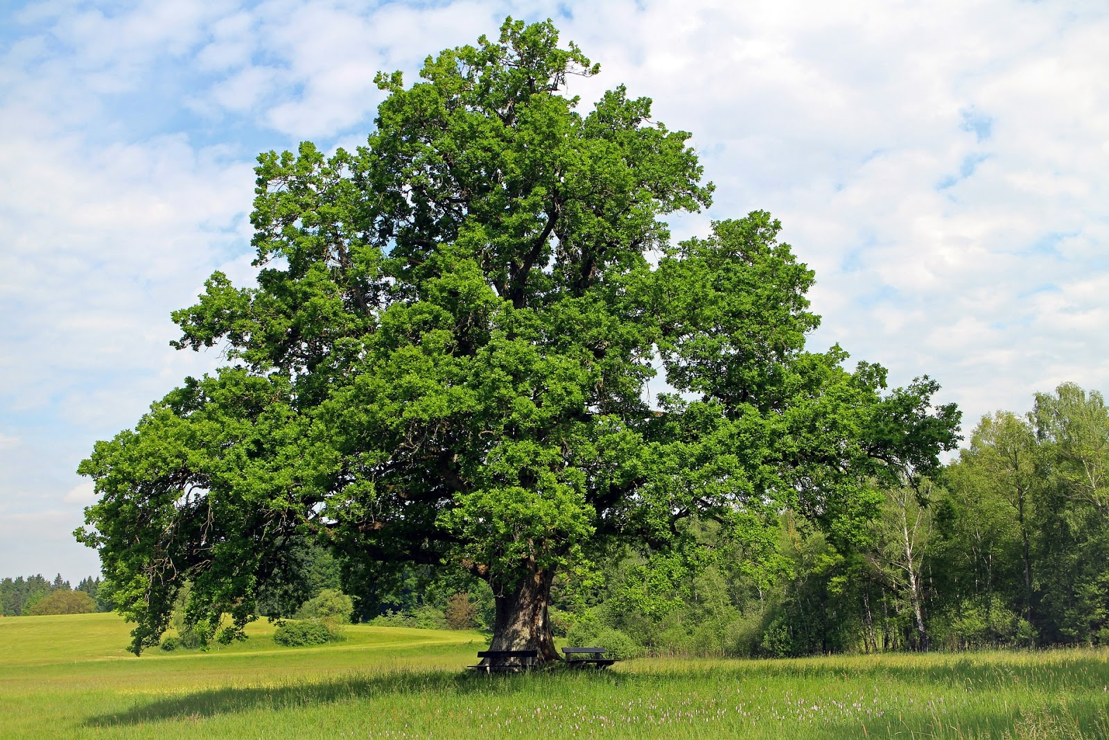 Oak Tree | Landscape Improvements