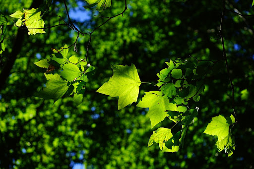 Sycamore tree leaves | Landscape Improvements