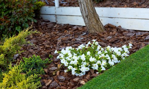 Pine Mulch With White Flowers